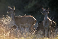 Red Deer hinds and fawn observing conspecifics