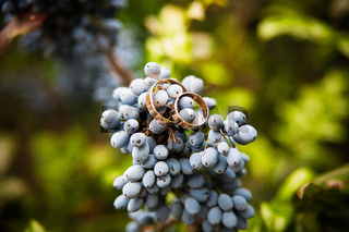 blue bunch grapes and wedding rings