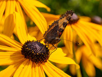 Wild butterfly on yellow cone flower