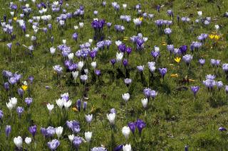 Blumenwiese, Krokusse,