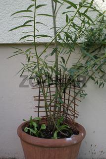 Salix alba, Silberweide, Flechtwerk im Topf