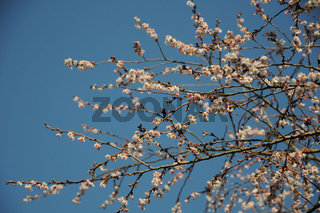 Prunus subhirtella, Bergkirsche, Flowering Cherry