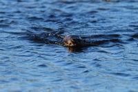 Fischotter mit Fisch Norwegen