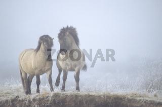 Konik - Hengste streiten sich um die Rangordnung - (Waldtarpan-Rueckzuechtung) / Heck Horse stallions wrangling for hierachy - (Tarpan-breeding back) / Equus ferus caballus - Equus ferus ferus