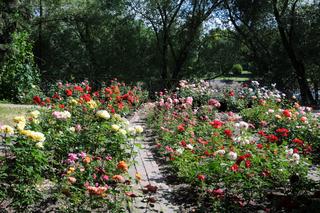Rosa, Edelrose, Hybrid-rose, Rosengarten