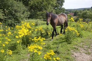 Pferd-und-Jakobsgreiskraut