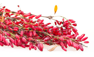 red berberis branch with ripe fruits