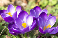 White-purple blooming crocus