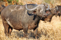African buffalo, Kruger National Park, SA