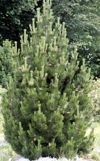 Panzerkiefer, Pinus heidreichii