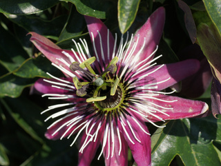 Passiflora caerulea, Blaue Passionsblume