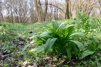 Bärlauchpflanze im Wald