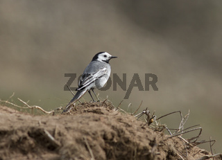 White Wagtail on the steppe slopes.