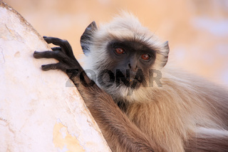 Gray langur sitting at the temple, Pushkar, India