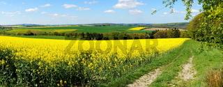 Rapsfeld mit Weg Panorama