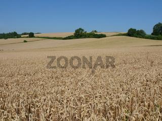 Triticum aestivum, Weizen, Wheat
