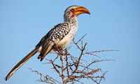 southern yellow-billed hornbill, south africa