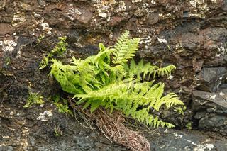 New fresh green Fern growth in Springtime