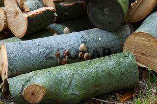 Pilze und Holz