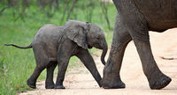 young african elephant, south africa, wildlife