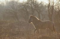 Heck Horse stallion in backlight observing alert h