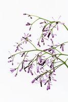 Persian Lilac - Melia azedarach