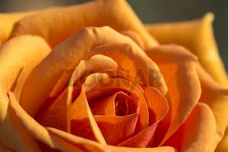 Orange Rosenblüte