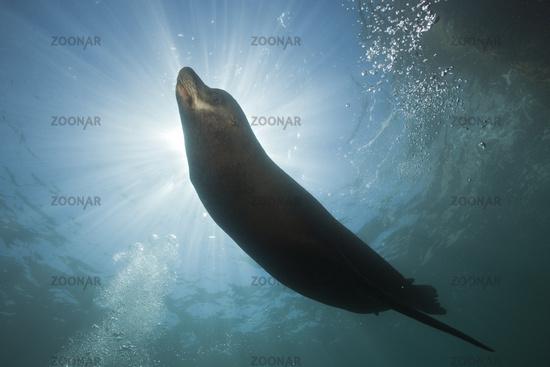 Kalifornischer Seeloewe, Mexiko