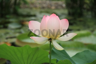 Lotus Blüte
