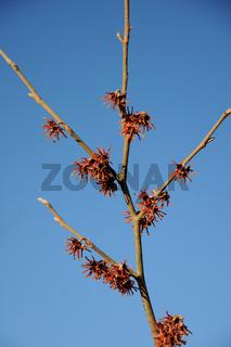 Hamamelis vernalis Carnea, Zaubernuss, Witchhazel