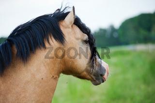 Welsh Cobb pony