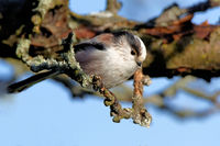 long-tailed tit in a tree