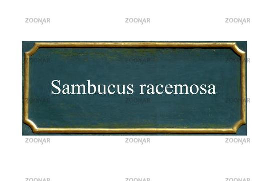 shield  Sambucus racemosa