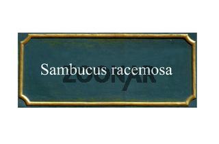 schild,Sambucus racemosa, Roter Holunder
