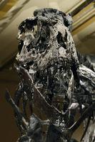 Das weltweit einmalige Skelett des (Tyrannosaurus rex, T. rex)Tr