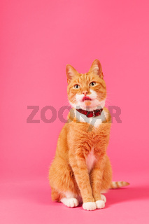 Red cat on pink background