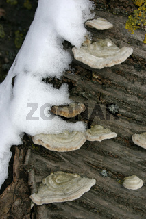 Baumpilze mit Schnee