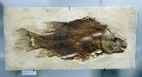 Versteinerter Dickschupperfisch (Lepidotes maximus), Museum für