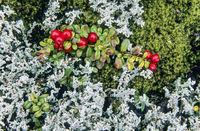 Cowberry between lichens