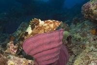 Rotflecken-Zackenbarsch, Australien