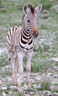 Junges Zebra, Steppenzebra, Etosha, Namibia, Plains Zebra, Equus quagga