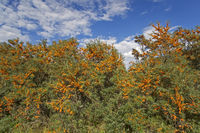 Seabuckthorn the origin of the plant is Nepal
