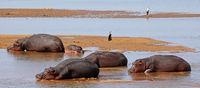 Hippos at South Luangwa, Zambia