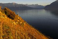 Weinberg Terrassen am Genfersee im Herbst