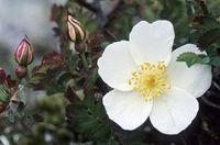 Burnet Rose the flowers are cream-white