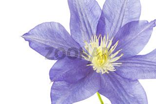 Einzelne Blüte einer Clematis, freigestellt