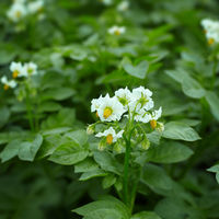 Close up of potato plant flowers