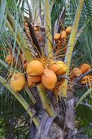 Kokospalme (Cocos nucifera) mit reifen Kokosnüssen, Insel Mahe,