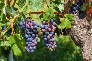 Two bunches of ripe grapes.