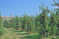 I--Südtirol--Apfelanbau nahe Kaltern an der Weinstrasse in Monticolo.jpg